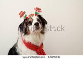 royal 8 australian shepherds australian christmas stock images royalty free images u0026 vectors