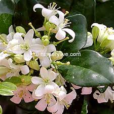 Which Jasmine Plant Is Most Fragrant - how many type of jasmine flower u know every of them has unique
