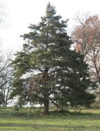 sweet cedar tree