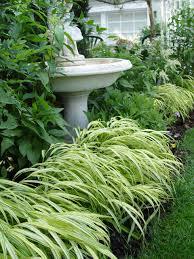 golden variegated japanese forestgrass garden housecalls