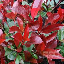 photinia robin is a glossy leaved small tree with bright