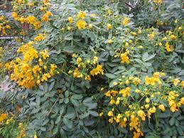 oklahoma native plants texas flowery senna tree native gardens pinterest texas