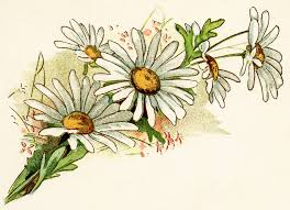 vintage daisy image free digital floral graphics cluster of