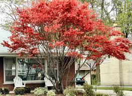 japanese maple blood garden plant evergreen trees