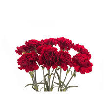 Red Carnations Dark Red Carnations Flower Muse