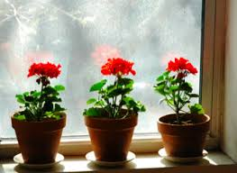 The Geranium On The Windowsill Just Died African Violets And Geraniums U2013 The Write Way