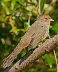 California Backyard Birds by California Towhee Whatbird Com