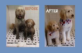australian shepherd grooming needs karla u0027s pet rendezvous pet grooming salon u0026 spa packagesdog
