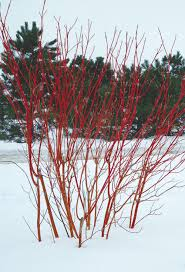 intriguing bark enlivens a winter scene fine gardening