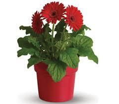 flower plants send flowering plants as gifts teleflora co nz