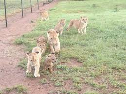lions for sale lions cubes for sale in houston for sale united states pets 1
