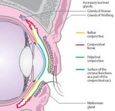 Anatomy Of The Eye Ch 5 Gross Anatomy Of The Eye Cell Biology 1 With Nikla At New