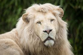 male lion wallpapers 21 white lion wallpapers hd high quality