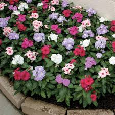 vinca flower resistant to the disease that kills vinca in hot humid and rainy