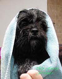 affenpinscher shaved pet grooming the good the bad u0026 the furry new dogs