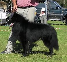 belgian shepherd sydney our kennels history