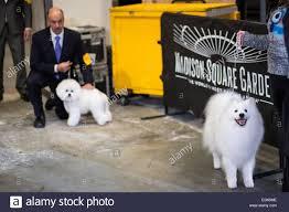 american eskimo dog vector new york ny usa 16th feb 2015 american eskimo dog nuuktok u0027s