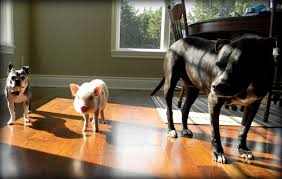 our mini pig and dog are enemies again life with a mini pig