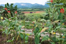 photo essay cuban farmers return to the old ways modern farmer