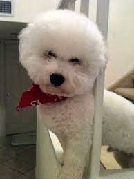 bichon frise whining puppy teething tips cambeas bichon frise puppies