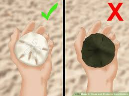 where to buy sand dollars how to clean and preserve sand dollars 14 steps with pictures