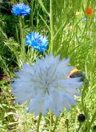 Bachelor Buttons Paghat U0027s Garden Centaurea Cyanus
