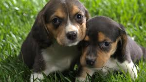 Best Friend Wallpaper by Animals Beagle Desktop Background High Resolution Wallpaper