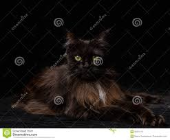 halloween cat eyes background studio portrait of a beautiful maine coon cat stock photo image