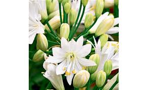 How To Grow A Bulb In A Vase How To Get The Best Out Of Agapanthus All Year Round Telegraph