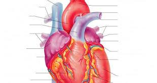 External Heart Anatomy Class Blog Bio 202 Heart Anatomy Worksheet