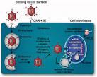 <b>Adenovirus humano</b>-c