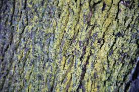 how to treat green mold on maple trees hunker