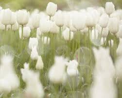 white tulips 25 amazing tulip field pictures