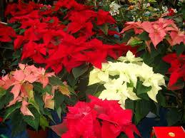 100 christmas flowers bulbs best 25 christmas wreaths ideas