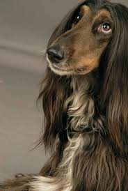 afghan hound calendar 2015 1055 best afganos images on pinterest afghans afghan hound and