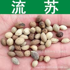 high tassel tree seeds collected seed radish flower sparse