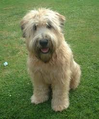 wheaten haircuts does anyone have experience with wheaten terriers