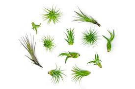Indoor Tropical Plants For Sale - 12 air plant variety pack small tillandsia terrarium kit