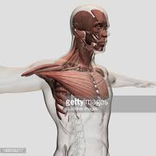 Human Anatomy Upper Body Anatomy Of Male Muscles In Upper Body Posterior View Stock