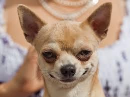 Confused Dog Meme - pix for dog in mirror meme