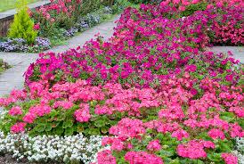 vivid pink colors in the flower garden plant u0026 flower stock