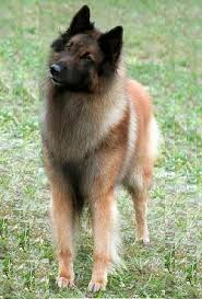 belgian shepherd dog temperament belgian shepherd dog breed information history health pictures