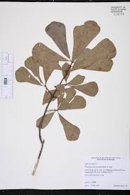native plants of alabama quercus nigra species page isb atlas of florida plants