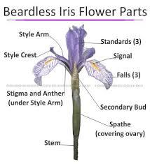Style Flower Part - beardless iris diagram includes the japanese and siberian iris