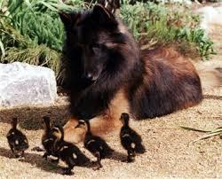 belgian sheepdog breeders europe belgian tervuren he looks like my puppy animals
