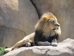 male lion wallpapers male lion wallpaper hd wallpapers photos