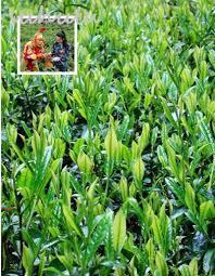 Pflanzen Fur Japanischen Garten Online Kaufen Großhandel Gr U0026uuml Ner Tee Samen Aus China Gr U0026uuml