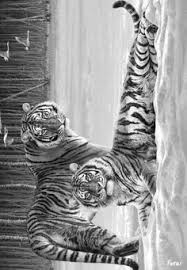 tiger coloring page zoo animals color me beautiful pinterest