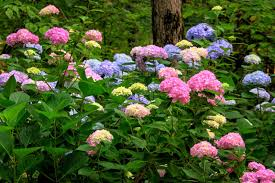hydrangea hydrangeas for your garden gibbs gardens
