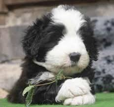 bearded collie x terrier bearded collie photo bearded collie puppies pictures photos pics